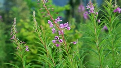 Willow-herb close-up nature scene. Stock Footage