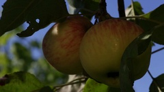 Yellow apples ripen on the tree branch Stock Footage