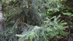 The spruce branches swaying in the wind Stock Footage
