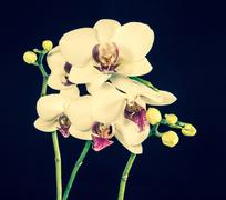 Blooming branches beautiful white orchid flower (phalaenopsis) with bud ton.. Stock Photos