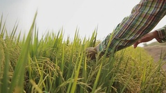 Hand brushing over heads of  rice field Stock Footage