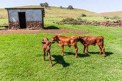 Calf Animals Farm Stock Photos