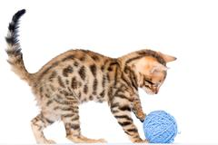 Bengal fluffy kitten with blue ball of thread isolated Stock Photos