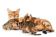 Watchful mother cat feeding her kittens milk Kuvituskuvat