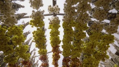 Steadicam Shot Of Rows Of Dried Floral Bouquets Hanging From Ceiling In Market Stock Footage