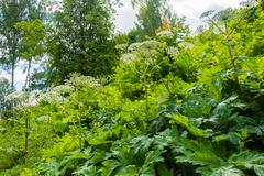 Dense thickets of Hogweed. Stock Photos