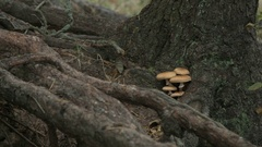 Small tiny mushrooms growing on the tree trunk. Stock Footage