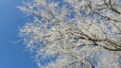 Rime frost on tree tops of willow trees in winter against blue sky Stock Footage