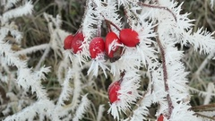 Details of rose-hips covered with rime frost crystals in wintertime. Stock Footage