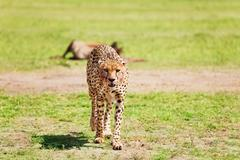 Portrait of wild cheetah after feasting at savanna Stock Photos