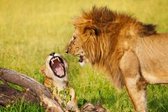 Portrait of roaring lion and lioness at savannah Stock Photos