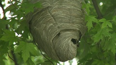 Bald Faced hornets nest. Stock Footage