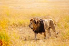 Beautiful African lion in the nature habitat Kuvituskuvat