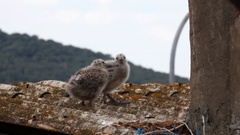 Two Young Seagulls on the Roof Stock Footage