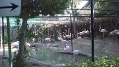 Flock of flamingo birds at zoo beautiful colored feathers for exotic big bird 4K Stock Footage