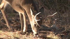 White-tailed Deer Buck Male with Antlers Feeding in Forest in Fall Stock Footage