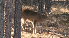 Large Male White-tailed Buck with Antlers Feeding in Forest Stock Footage