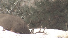 Large Mule Deer Buck with Antlers Walking and Feeding in Snow in Winter Stock Footage