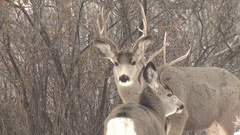 North American Mule Deer Bucks Looking Around and Then Fighting Arkistovideo