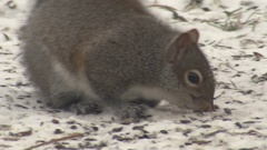 Closeup of Gray Squirrel Foraging Looking for Food on Ground in Winter Snow Stock Footage