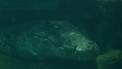 Crocodile from under water Stock Footage