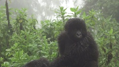 Baby mountain gorilla over mom, zooming Stock Footage