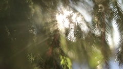 Through the branches of the pine bright light of the setting sun. Stock Footage