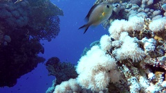 Coral reef, tropical fish. Underwater world. Diving and Snorkelling. Stock Footage