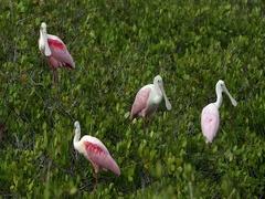 Black Point Wildlife Drive Roseate Spoonbill Stock Footage