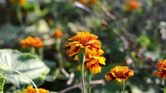 Orange flower calendula on green nature background Stock Footage