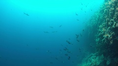 Grey reef sharks on the edge of a coral reef 4k Stock Footage