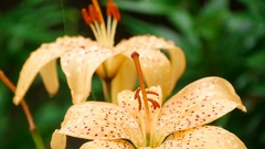 Creamy Lily flower under rain Stock Footage