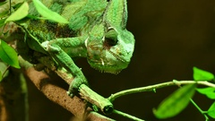 Slow movemente of green veiled chameleon lizard Stock Footage