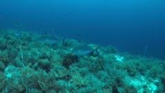 Bluefin Trevallies on a coral reef. 4k Stock Footage