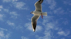 Bird soaring smoothly through the air. Slow Motion Stock Footage