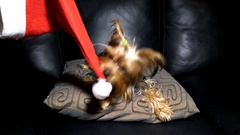 Yorkshire Terrier plays a cover of Santa Claus on the black sofa Stock Footage