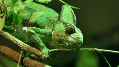 Green chameleon lizard on the tree Stock Footage