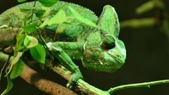 Eye movement of green veiled chameleon lizard Stock Footage