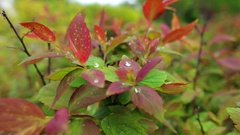 Maroon leaves in Sunny weather Stock Footage