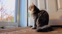 Maine Coon cat about to Nap Stock Footage