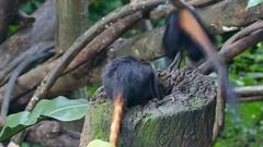 Golden-headed lion tamarin monkey Stock Footage