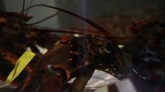 Lobsters in dark aquarium Stock Footage