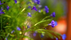 Blue flowers in interior decoration Stock Footage