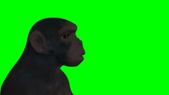 Angry ape  looks at camera on a green screen Stock Footage