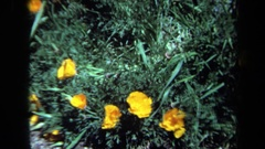 1971: flowers with overlapping yellow petals rise above dainty grayish-green Stock Footage