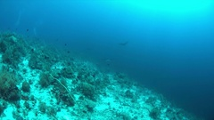 Three Manta rays on a coral reef 4k Stock Footage