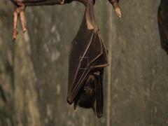 4K UltraHD Egyptian Fruit Bat, Rousettus aegyptiacus Stock Footage
