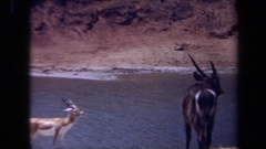 1971: some type of antelope gathering around the river at feeding time LAGUNA Stock Footage
