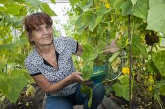 Pleased pensioner collects cucumbers in a greenhouse Stock Photos