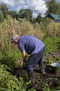 Man pensioner digging potatoes in the country Stock Photos